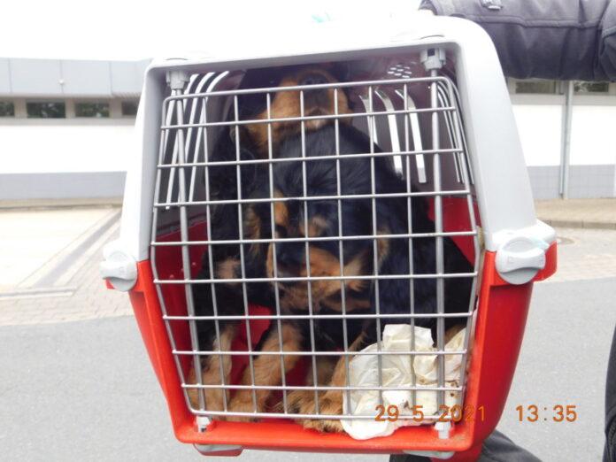 Hundewelpen im Käfig