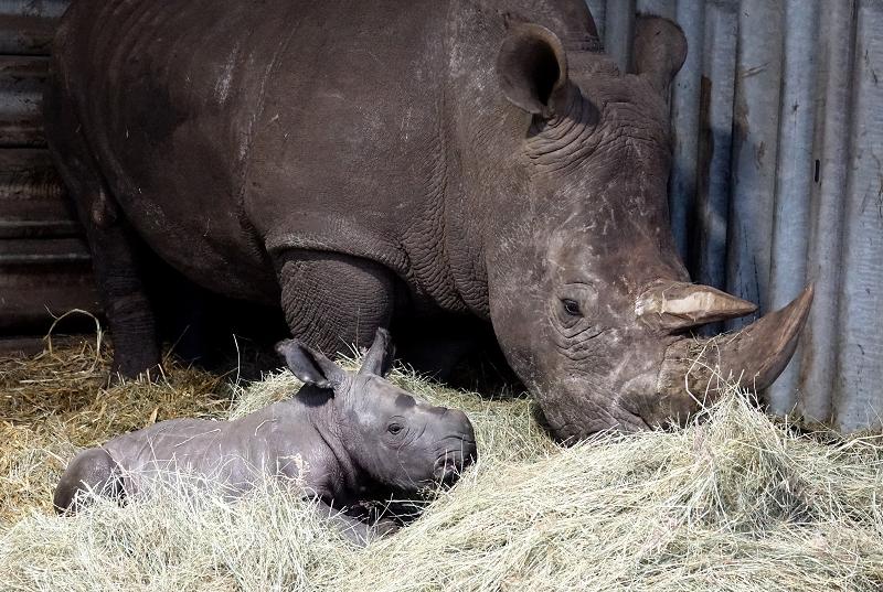 Nashornbulle Kai mit Mama Kianga