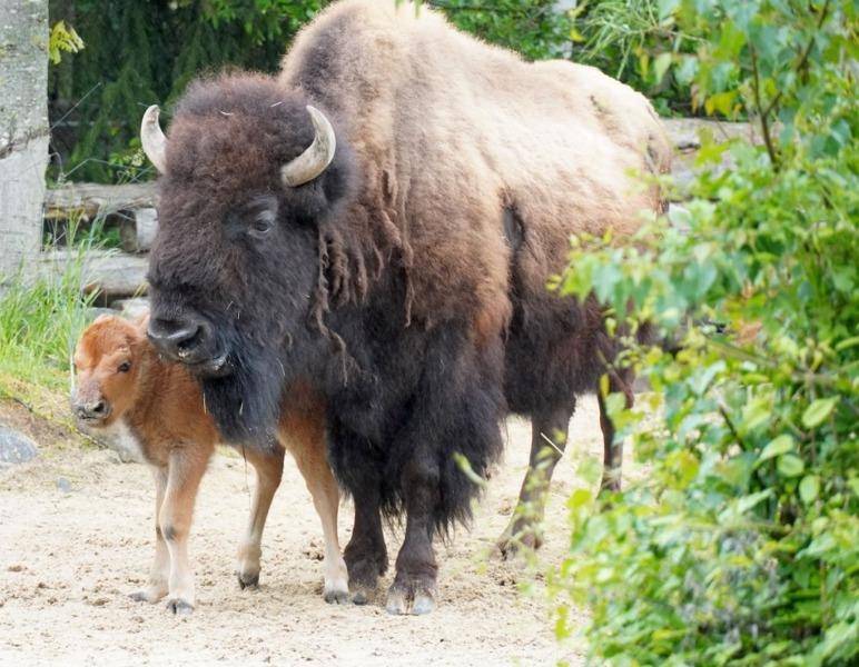 Bison mit Kalb