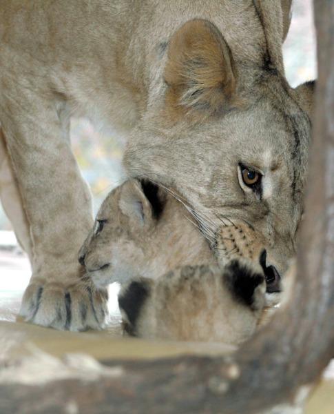 Löwin mit Jungtier