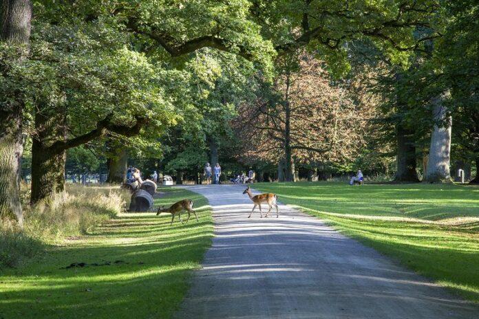 Reh - Tiergarten Hannover