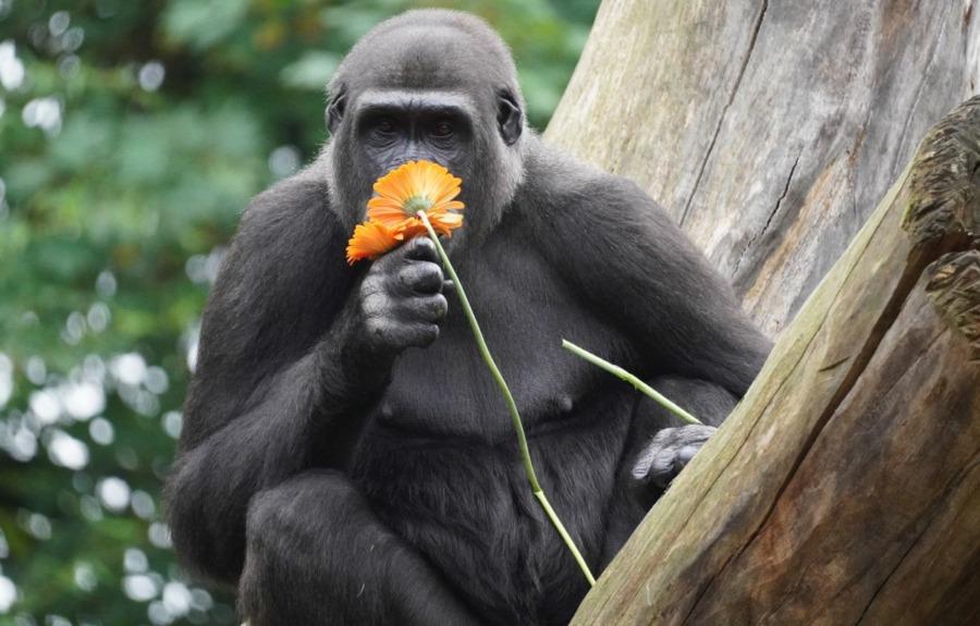 Gorilla Mayumi
