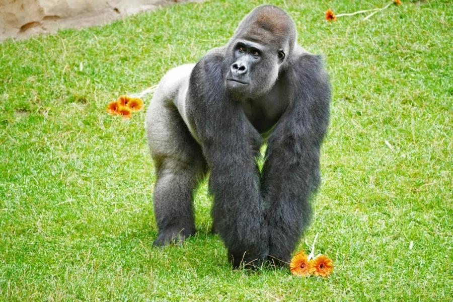 Gorilla Buzandi