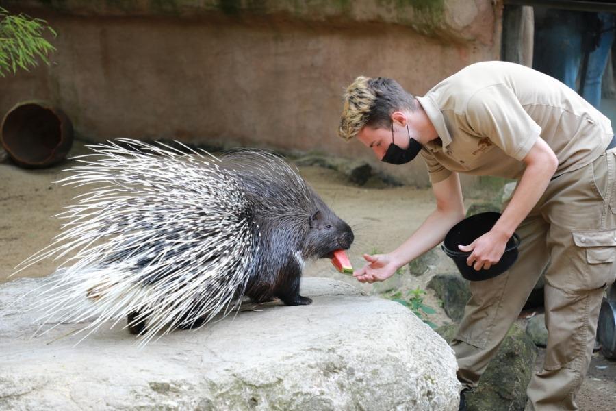 Stachelschwein mit Tierpfleger