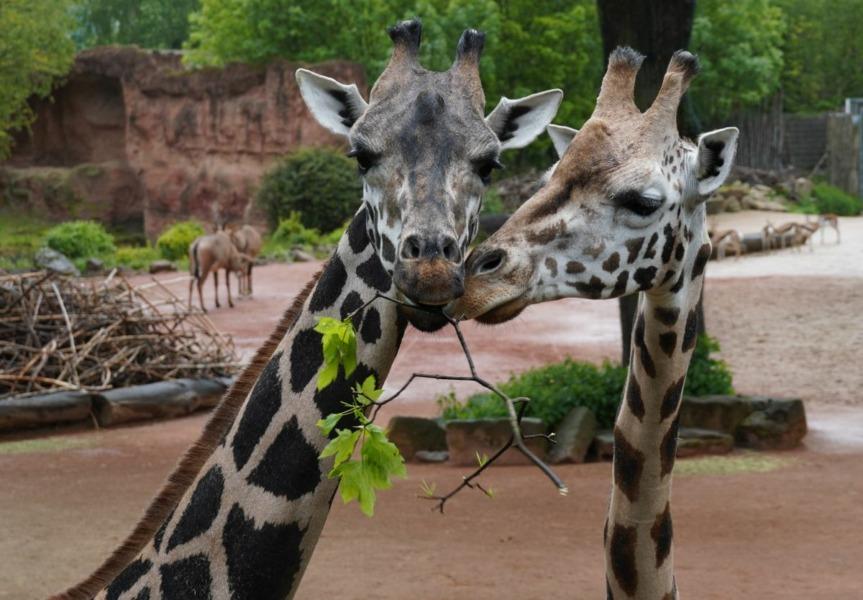 Die Giraffen im Erlebnis-Zoo - Niobe und Jamila_