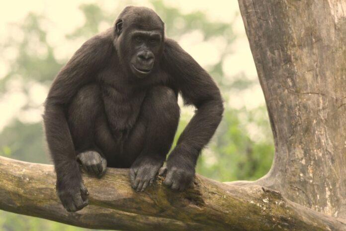 Gorilla-Weibchen Mayumi