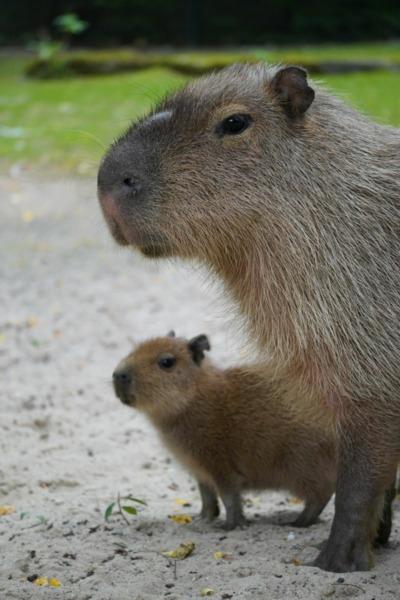 Vater und Sohn Wasserschwein
